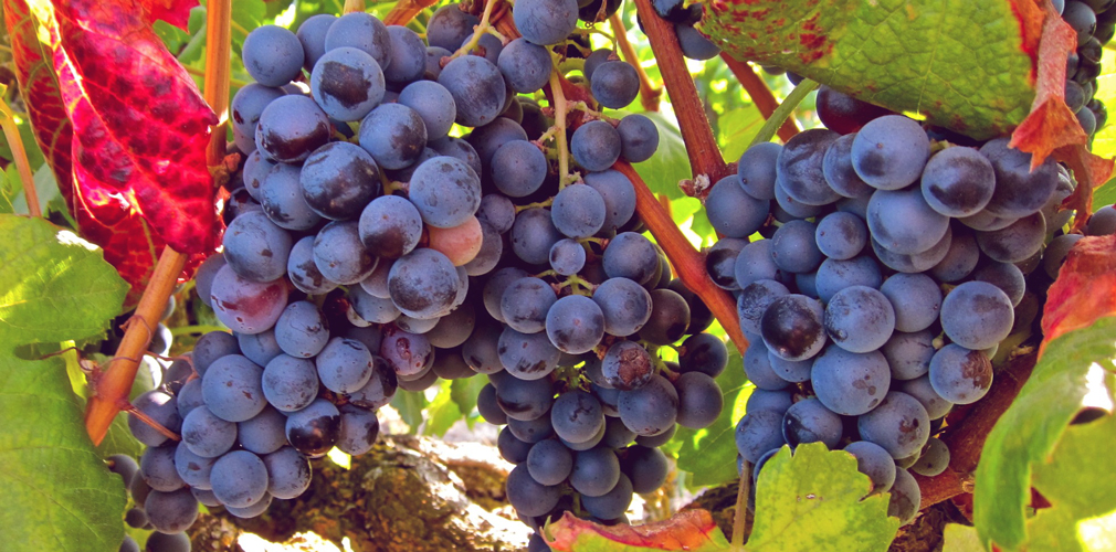 The Grape Grandma: Vitis Vinifera