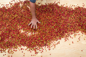 hires_overhead_cherries_drying