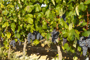 Roots and Regulations of Rioja