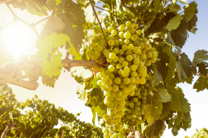 Founding Grapes: Gouais Blanc