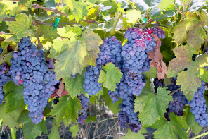 Tracing the Origins of Zinfandel