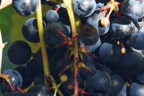 What is Tannat?