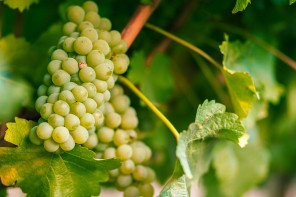 Assyrtiko, Greece's Noblest White Grape