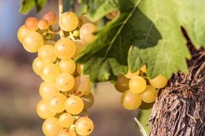 Grape Guidebook: Riesling