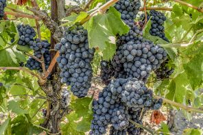 Grape Guide: Zinfandel