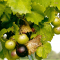 Muscadine: The Healthiest Grape